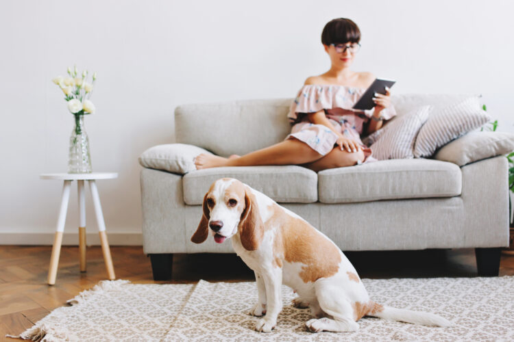 Indoor portrait of elegant black-haired girl relaxing on sofa with cute beagle dog on foreground. Pretty young woman reading book on tablet while her amazing pet sitting on carpet with mouth open.
